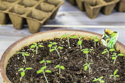 Pikieren Jungpflanzen im Topf