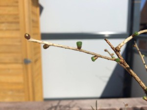 Lärchen-Bonsai (Larix)