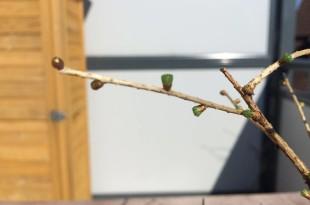 Lärchen Bonsai treibt aus (Larix)
