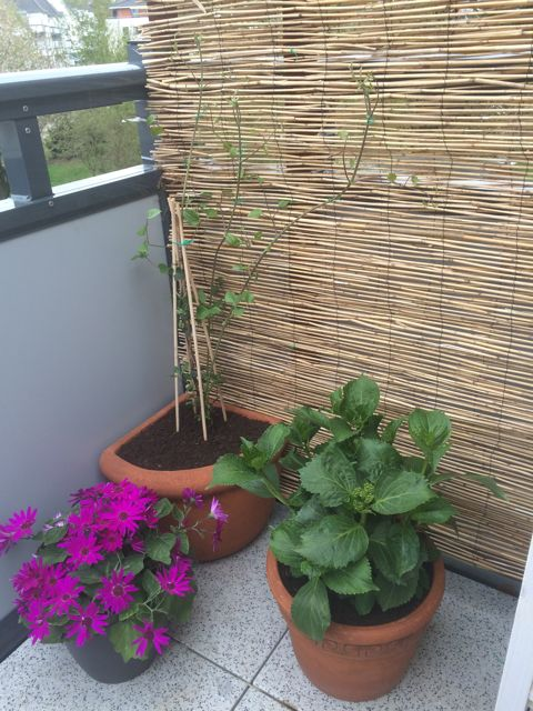 Balkon Bambus Sichtschutz selber bauen - Clematis