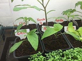 Pflanzenanzuchtstation selber bauen Chili und Paprika und Tomate